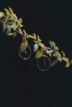 Araucaria earrings